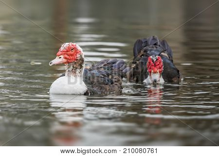 Muscovy duck relaxing in the calm lake