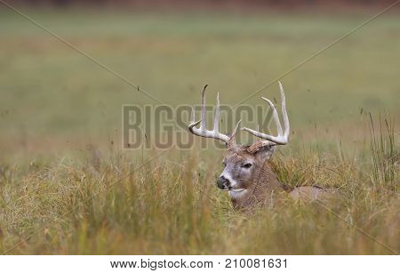 White-tailed deer buck resting in the grass in autumn