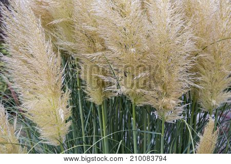 Decorative garden with bush of blooming pampas grass