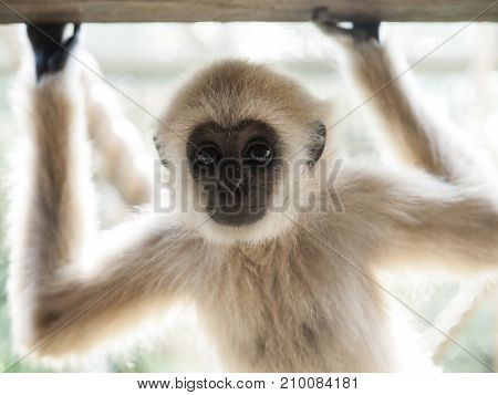 A Baby Lar Gibbon With His Hands Up Is Looking At Camera.