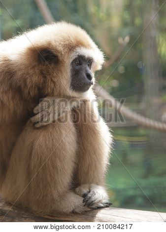 An Adult Lar Gibbon Is Sitting Sadly Or Thoughtfully With His Head On His Knees.