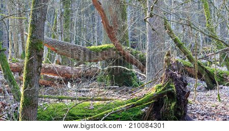 Springtime deciduous stand with old broken oaks partly moss covered, Bialowieza Forest, Poland, Europe