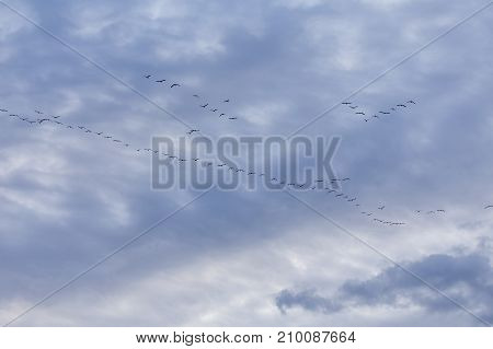 Group of migrating geese birds flying on blue sky