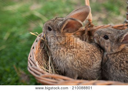 Two Brown Bunnys In Wood Basket On Farm