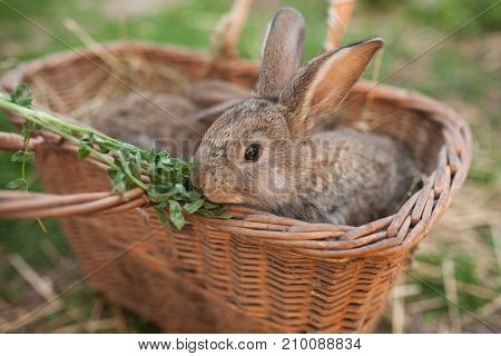 Little brown bunny eat green outdoor background