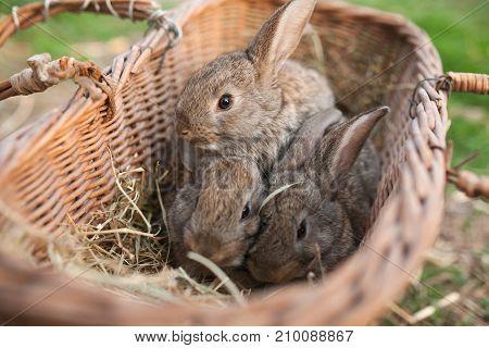 Three Rabbits In Basket On Farm