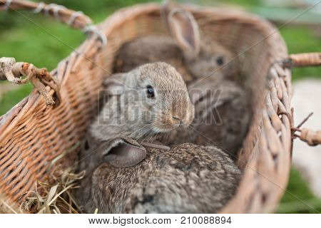 Rabbits in rustic wood basket nature background