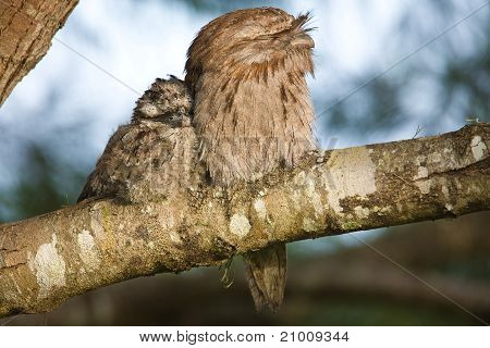 Tawny Frogmouth With Young   Podargus Strigoides