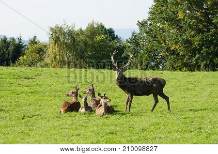 European red deer group on a paddock in the summer sun. Mature stag (male) and four hinds (females). Herd of Cervus elaphus in Western Europe. Photo.