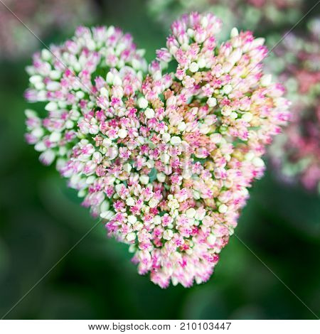 Beautiful Decorative Garden Sedum Flowers ( Lat. Sedum Spectabile)  Blossoming At Antumn. Flower Car