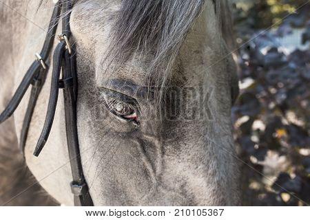 Close-up of dapple-grey horse face with black bridle and long eyelashes.
