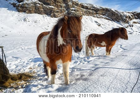 Two beautiful icelandic horses in winter, Iceland