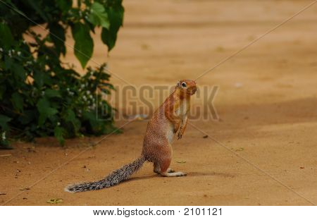 Ground Squirrel (Xotus Erythropus)