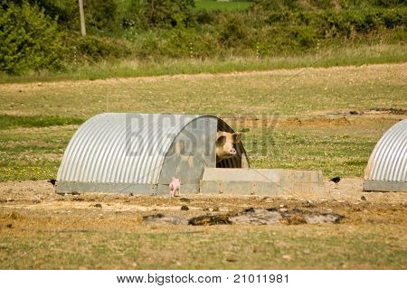 Piglet and mother at Pig Farm