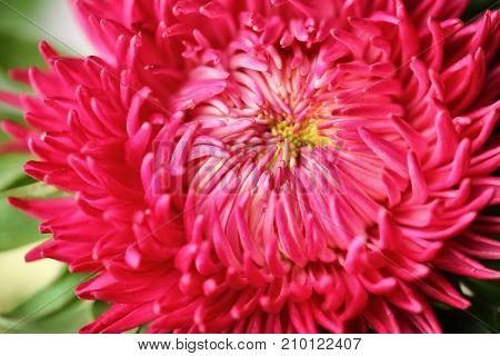Beautiful chrysanthemum flower, closeup