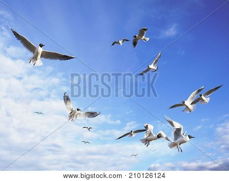 Black-headed seagulls fly in the sunny blue sky with some light cirrus clouds. Dreams of freedom.