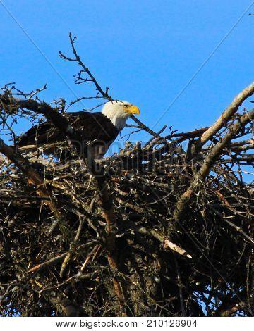 Bald Eagle near Homer Alaska, USA in summer