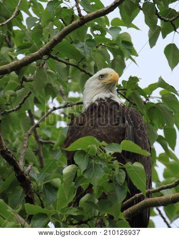 Bald Eagle Homer Alaska, USA in summer