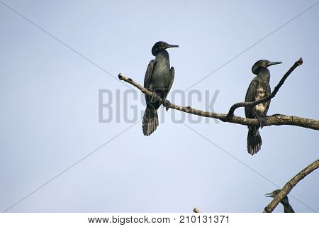 group flock of cormorant birds diver water birds sitting on branches of tree preening feathers black under blue sky hunting resting