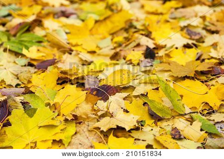 Background of multi-colored autumn leaves of different trees