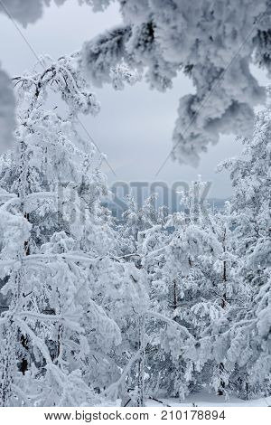 Christmas background with snowy fir trees in the frosty winter