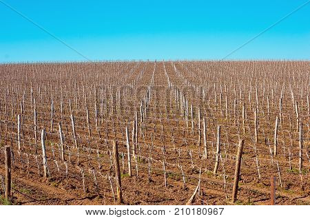 Vineyards with young vines. Wooden poles from acacia. Spring foliation