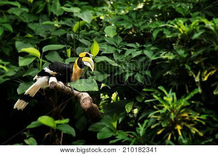 Yellow Billed Hornbill Great hornbill Great indian hornbill Great pied hornbill in green topic rainforest