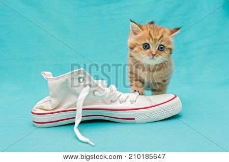 Red British kitten and white sneakers on a blue background