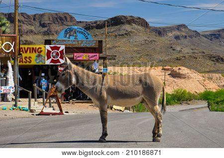 OATMAN, ARIZONA, USA - MAY 14, 20017: Stubborn donkey on the historic route 66 in Oatman blocks cars passing the village.