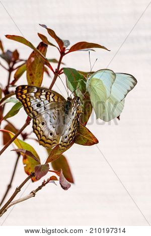 Two Different colored butterflies together on same branch.