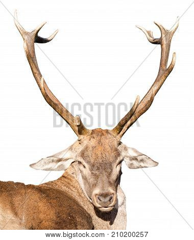 Detail on a hunted deer head with big antlers isolated over white