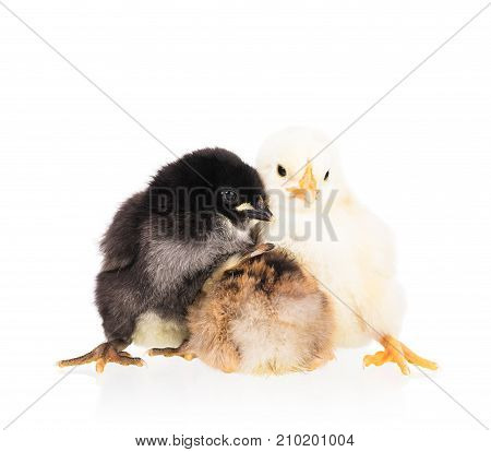Cute newborn chickens isolated over white background