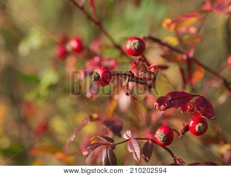 some Sorbus Eastern Promise Berries in autumn