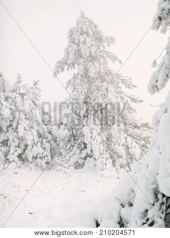 Winter trees in forest covered with fresh snow