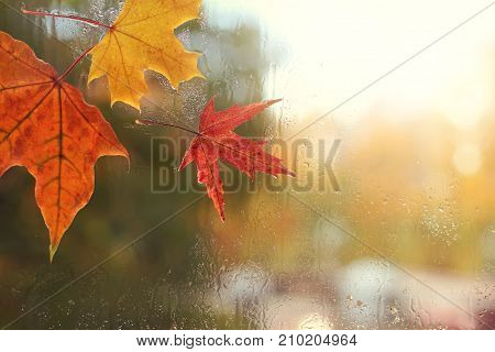 red and yellow maple leaves and raindrops on the glass / autumn weather outside the window