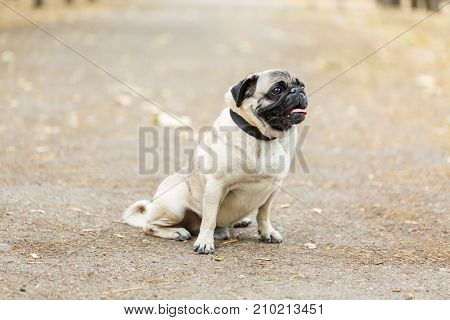 Beautiful funny dog sitting on the street on the natural background. Doggie mops walking in the park. Close-up of dog. Pet concept.