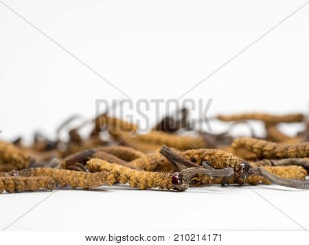 close up Ophiocordyceps sinensis (CHONG CAO DONG CHONG XIA CAO) or mushroom cordyceps this is a herbs. Medicinal properties in the treatment of diseases.