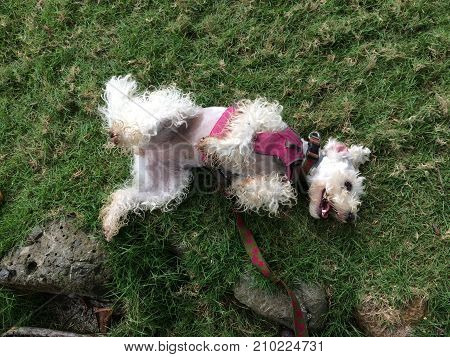 Schnauzer poodle dog laid upside down on the green grass