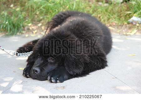 Cute Newfoundlander puppy resting on the pavement
