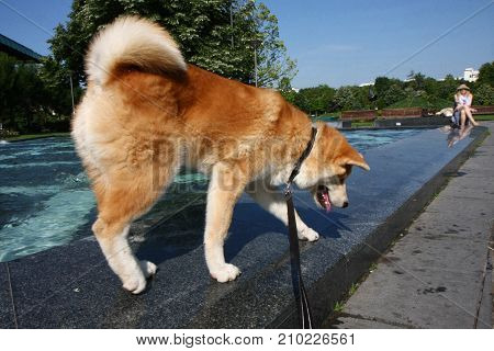 Akita Inu puppy slipping on the edge of public fountain
