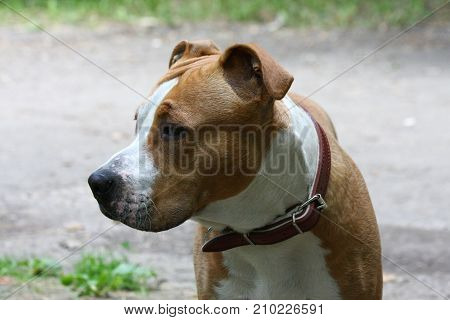 Portrait of young American Staffordshire Terrier in public park