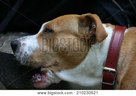Portrait of young American Staffordshire Terrier who sharpens his teeth on the bench