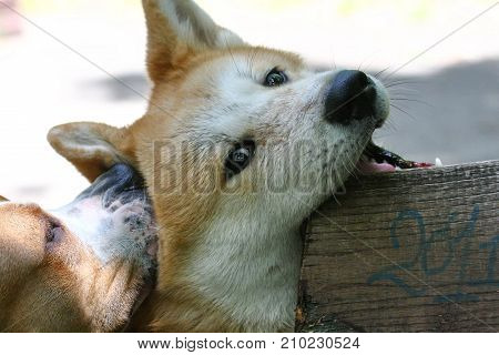 Puppies of American Staffordshire Terrier and Akita Inu playing in public park