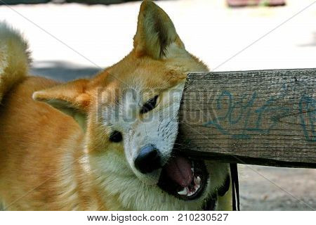 Portrait of young Akita Inu who sharpens his teeth on the bench