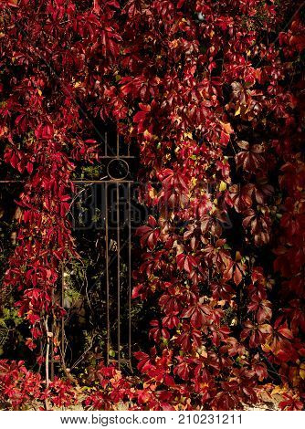 Autumn time. Tree-like girlish grapes (Parthenocissus quinquefolia) with red leaves. Selective focus.