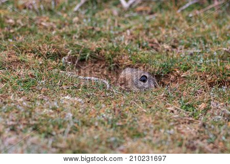 prairie dog (cynomys ludovicianus) sticking out from a burrow. Danube Delta Romania