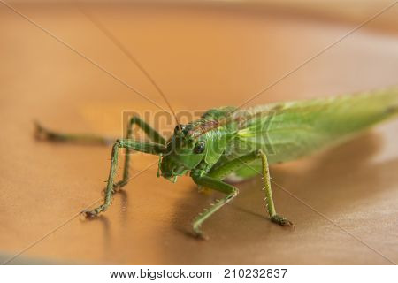 Large green grasshopper or locust with sting or tail