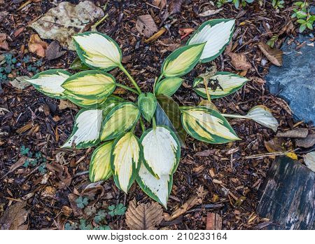 A closeup shot of a Hosta plant with drops of water.