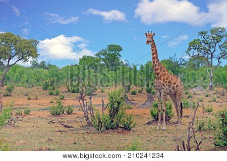 A solitary Giraffe (Giraffa camelopardalis) standing on the open savannah with a natural bush background in Hwange National Park Zimbabwe