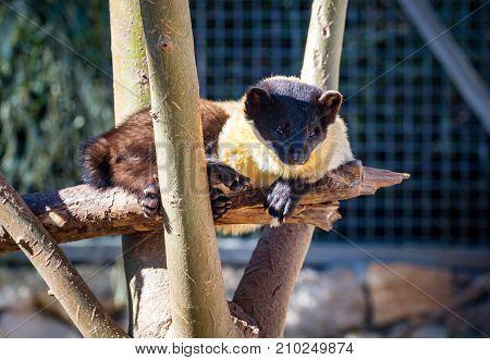 JERUSALEM, ISRAEL - JANUARY 23: The Yellow-throated marten, Martes flavigula, asian marten in Jerusalem Biblical Zoo, the Tisch Family Zoological Gardens in Jerusalem, Israel on January 23, 2017